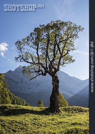 European Alps, Austria, Maple Tree
