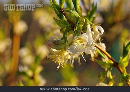 Blossom, Honeysuckle, Winter Honeysuckle