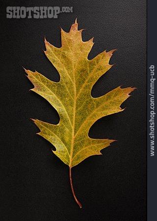 Oak Leaf, Autumn Colors