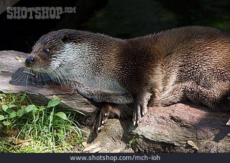 Otter, Otter