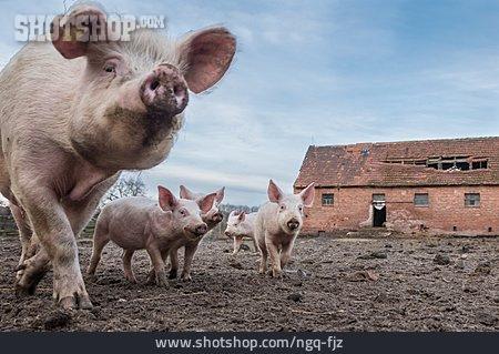 Pork, Domestic Pig, Piglet