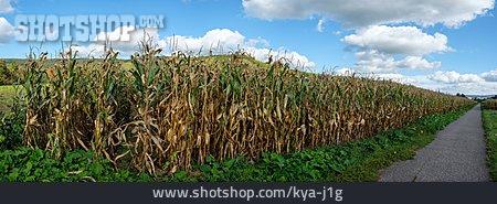 Drought, Maize Plant, Maize