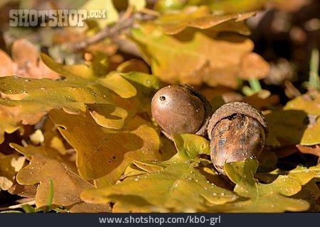 Oak Leaf, Tree Fruit, Acorn