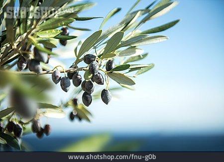 Olives, Olive Branch, Olive Tree