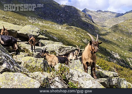 European Alps, South Tyrol, Goat Herd