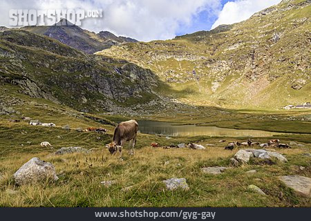 Mountain Lake, South Tyrol, Cattle