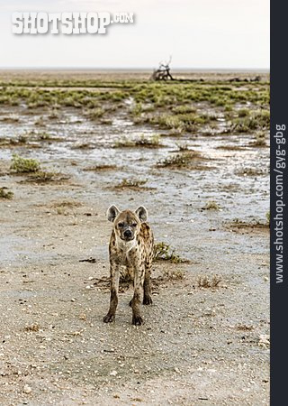 Spotted Hyena, Spotted Hyena