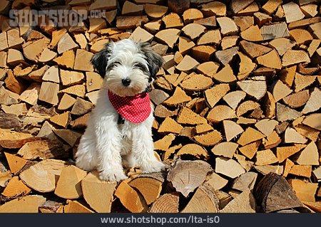 Dog, Tibetan Terrier