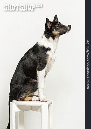 Dog, Attentive, Border Collie