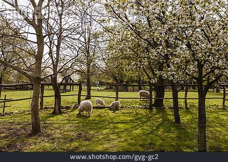 Grazing, Sheep