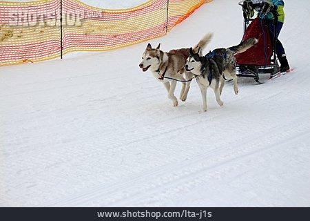 Sled Dog, Dog Sledding