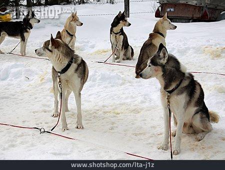 Sled Dog, Sled Dog
