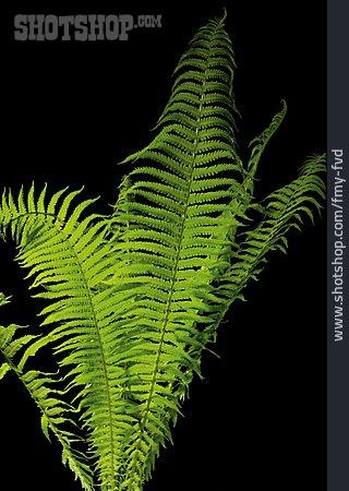 Fern, Fern Branch