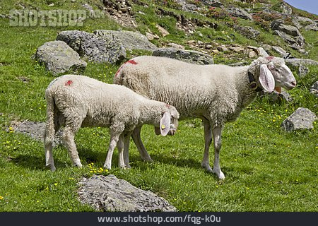 Sheep, Sheep Wool