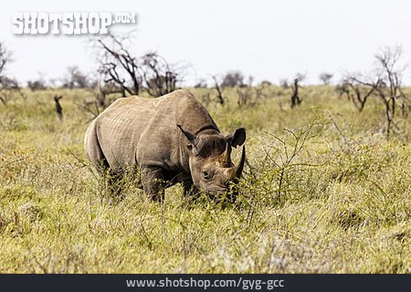 White Rhinoceros, Etosha National Park