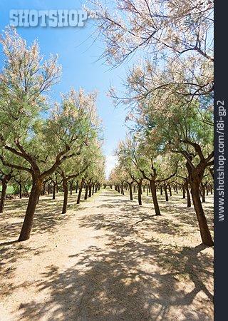 Plantation, Apulia