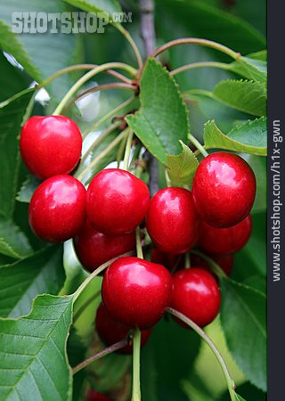 Cherry, Sour Cherry, Sour Cherry
