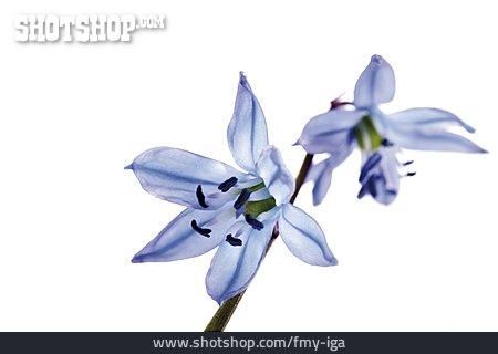 Blossom, Bluebell