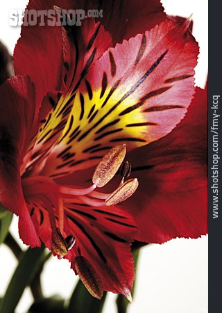 Lily, Inflorescence