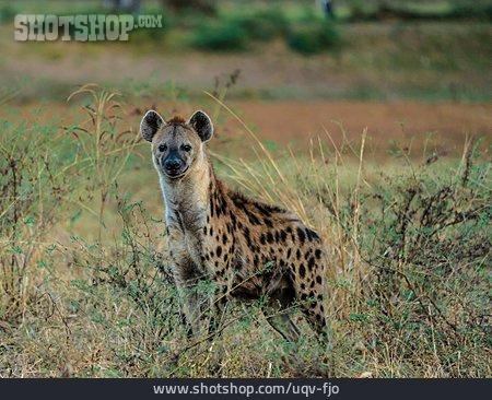 Hyena, Spotted Hyena