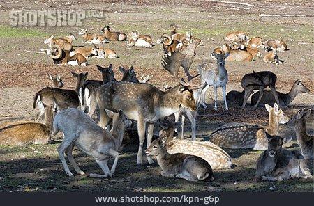 Fallow Deer, Mouflon