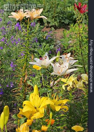 Lily, Flower Garden