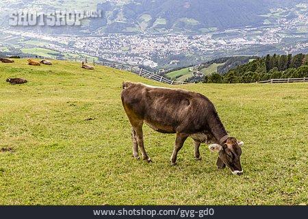 Cows, Pastures