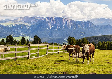 Cows, South Tyrol, Pastures