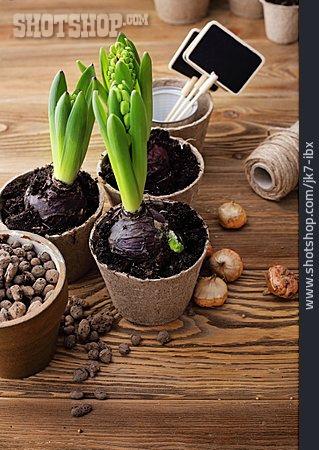 Hyacinth, Spring Flower, Garden Season