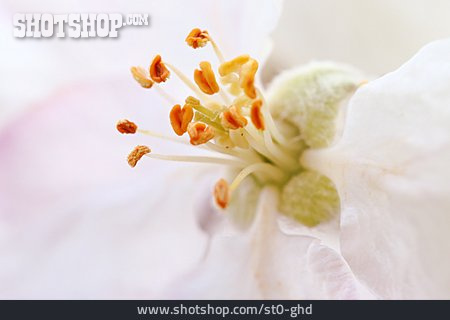 Apple Blossom, Stamen