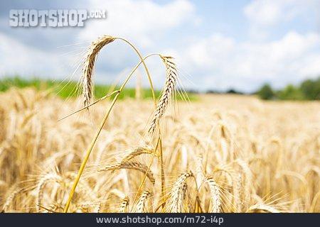 Agriculture, Grain, Crop, Wheat Ears