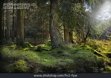 Forest, Light Incidence