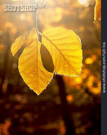 Autumn Leaves, Autumn Leaf, Indian Summer