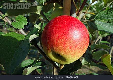 Apple, Jonagold