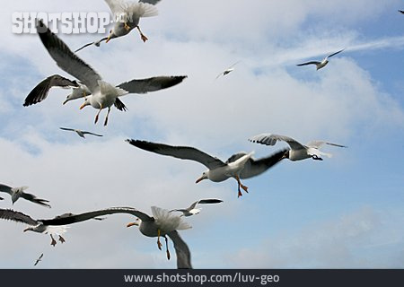 Flying, Seagull