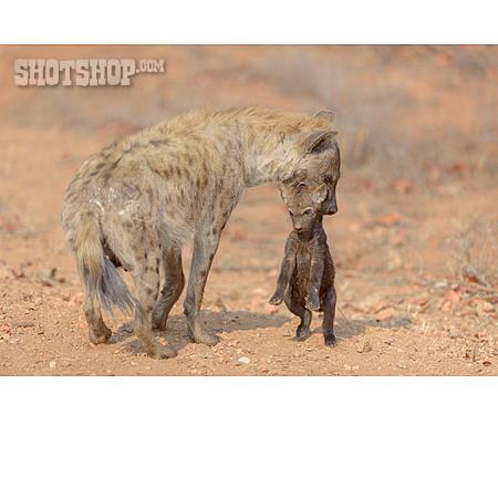 Young Animal, Care, Hyena