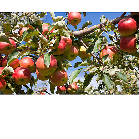 Apple, Apple Tree, Fruit Growing