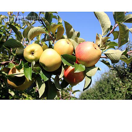 Apple, Apple Tree