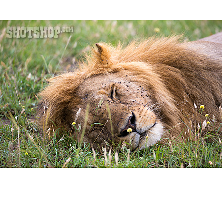 Lion, Napping