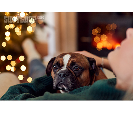 Christmas, Relaxed, French Bulldog