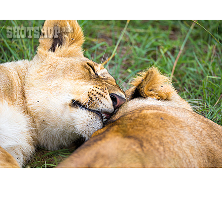 Lion, Cuddle