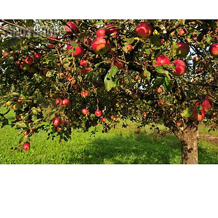 Apple Tree, Apples