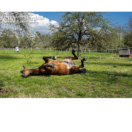 Horse, Rolling