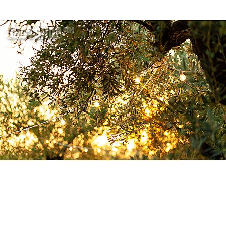 Christmas Lights, Olive Tree